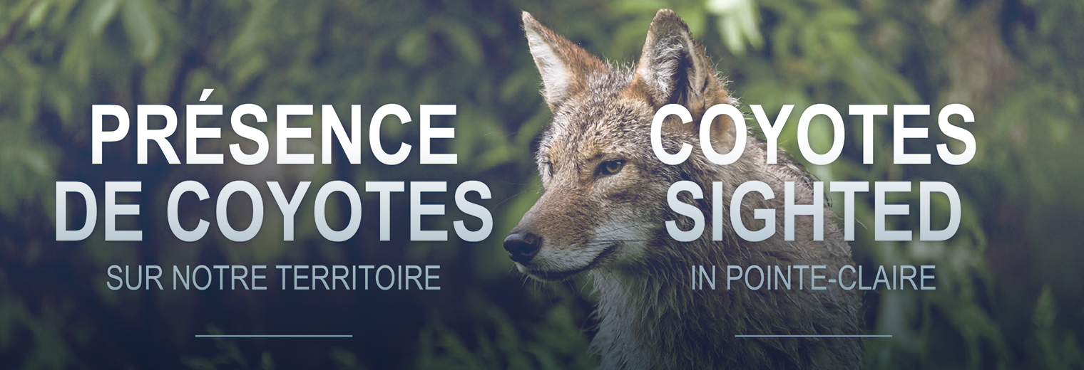 Coyotes Sighted In Pointe Claire Ville De Pointe Claire
